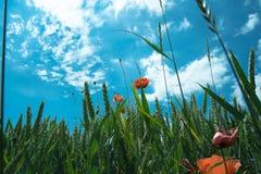 Getreidefeld mit Mohnblume Lizenzfreies Stockfoto