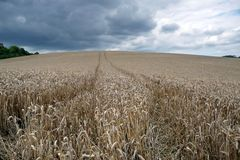 Getreidefeld in Pikardie Stockfotografie