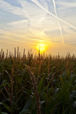 Getreidefeld am Sonnenaufgang Stockbild