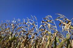 Getreidefeld und blauer klarer Himmel am schönen Sonnentag Lizenzfreie Stockfotografie