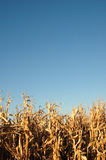 Getreidefeld und Himmel Stockfotos