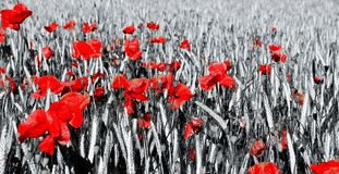 Getreidefeld und Mohnblumen stockbild