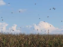 Getreidefeld und Schwalben Lizenzfreie Stockbilder