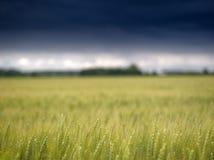 Getreidefeld vor ihm fängt an zu regnen Lizenzfreie Stockfotografie