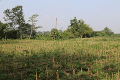 Getreidefeldernte Stockbilder
