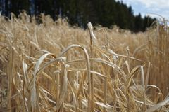 Getreidefeldfrühling lizenzfreie stockfotos