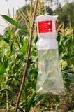 Getreidefeldköderinsekt Stockfoto