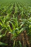 Getreidefeldreihen Stockfoto