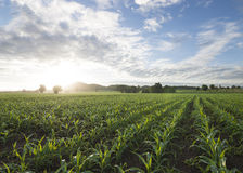 Getreidefeldsonne und blauer Himmel morgens Stockfotografie