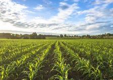 Getreidefeldsonne und blauer Himmel morgens Lizenzfreie Stockbilder
