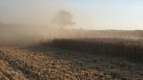GetreideKornähreforderung durchgesetzt im Staub und in der Rückseite von Weizenroggenanlagen des Mähdreschers dreschenden 4K stock video
