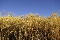 Getreidekorn bereit zur Ernte Lizenzfreies Stockbild