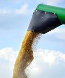 Getreidekorn an der Ernte lizenzfreie stockfotos
