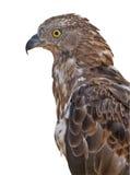 Getrennt auf weißem Adlerporträt Stockfoto
