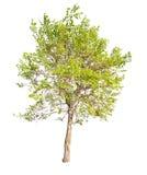 Getrennt auf weißem grünem Frühlingsbaum Stockbilder
