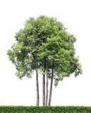 Getrennte Bäume und Hecke Lizenzfreies Stockfoto