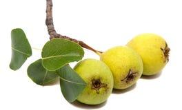 Getrennte Birnen Grüne Birnenfrucht lokalisiert auf weißem Hintergrund Stockbilder
