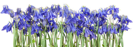 Getrennte blaue Frühlingsblumen Lizenzfreies Stockfoto