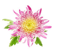 Getrennte Chrysanthemeblume stockfotografie