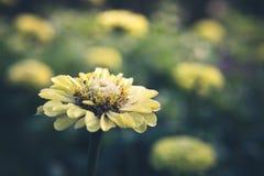 Getrennte gelbe Blume Stockfotos