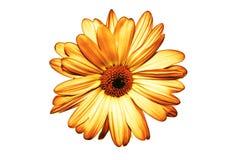 Getrennte gelbe Blume auf weißem Hintergrund stockfotos