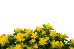 Getrennte gelbe Blumen auf weißem Hintergrund. Lizenzfreie Stockfotos