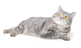Getrennte graue Katze Lizenzfreie Stockfotos