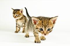 Getrennte Katze auf weißem Hintergrund Lizenzfreie Stockfotos