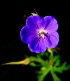 Getrennte purpurrote Blume lizenzfreie stockfotos