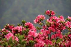 Getrennte rosafarbene Blüte Stockbild