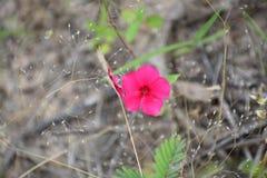 Getrennte rosafarbene Blume Lizenzfreies Stockfoto
