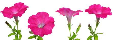 Getrennte rosafarbene Petunie stockbild