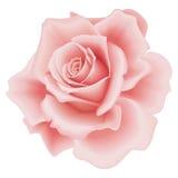 Getrennte rosafarbene Rose Lizenzfreie Stockfotos