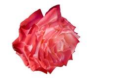 Getrennte Rose für Feiertage oder Liebe Stockfoto