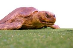 Getrennte Schildkröte lizenzfreies stockfoto