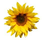 Getrennte Sonnenblume Stockfotografie