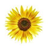 Getrennte Sonnenblume Lizenzfreie Stockfotos