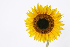 Getrennte Sonnenblume mit copyspace stockfotografie