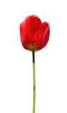 Getrennte Tulpe stockbild