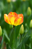 Getrennte Tulpe Stockfoto