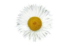 Getrennte weiße Blume Lizenzfreie Stockfotografie