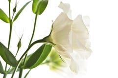 Getrennte weiße Blumen Stockfotos