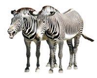 Getrennte Zebras von Grevy Stockfoto