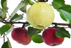 Getrennte Zeit, Roter und Gelber Farbe des Apfels, der Ernte Stockbilder