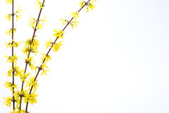 Getrennte Zweige des blühenden Forsythia Stockfotografie