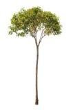 Getrennter Baum Lizenzfreie Stockfotos