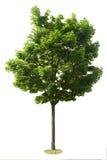 Getrennter Baum Lizenzfreies Stockfoto