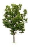 Getrennter Baum Stockfotografie