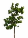 Getrennter Baum Stockbilder