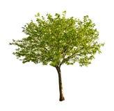 Getrennter Baum mit jungen Blättern Stockbilder